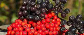 Красная и черноплодная рябина